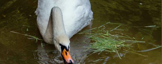 В Самаре опять были обнаружены лебеди, перемазанные нефтью